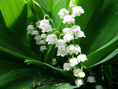 Lily Of The Valley clipart meaning  Symbolism Flower