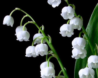 Lily Of The Valley clipart meaning The Beautiful Perennial Will valley