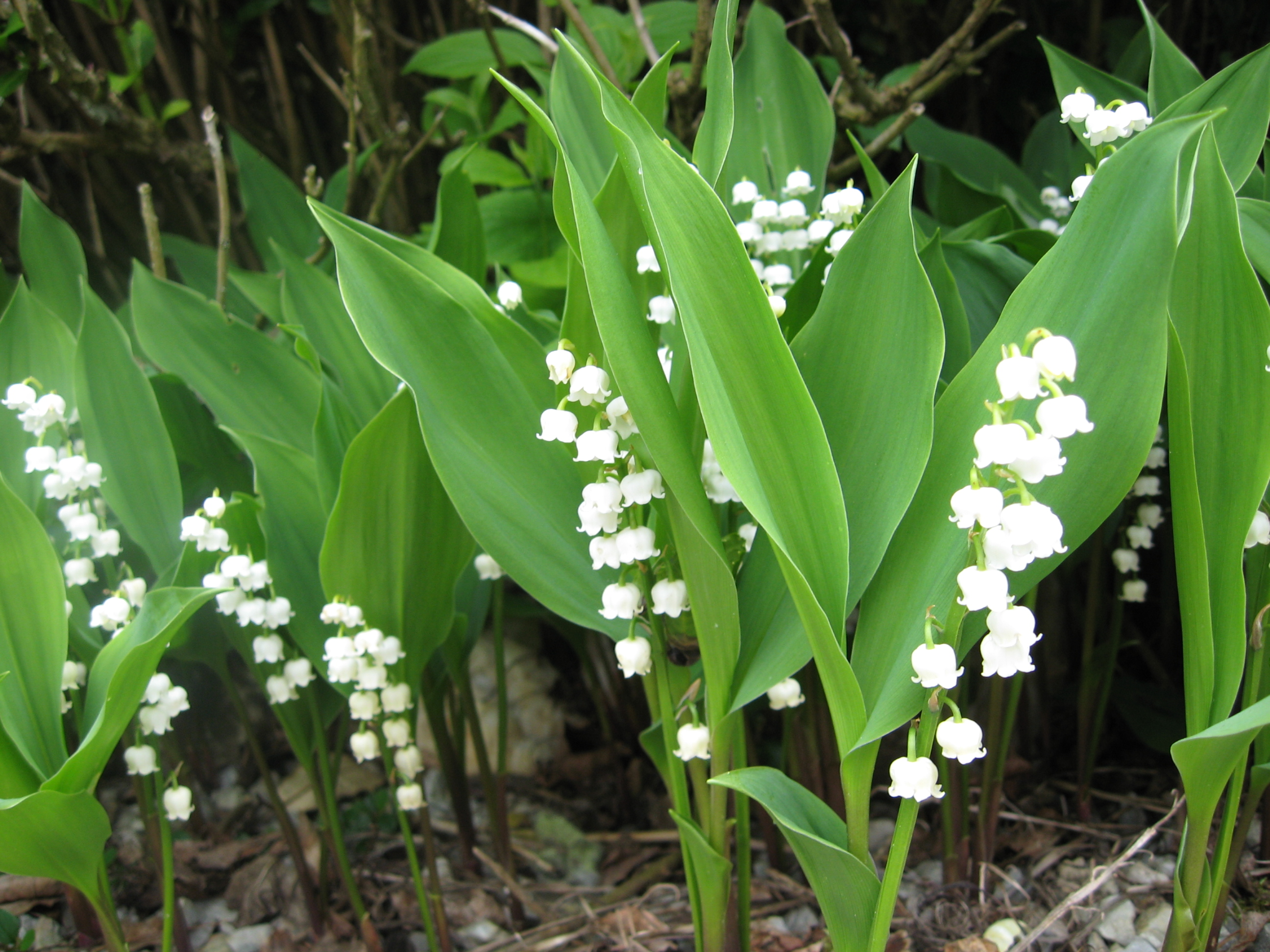 Lily Of The Valley clipart meaning Flower The Valley Lily 2017