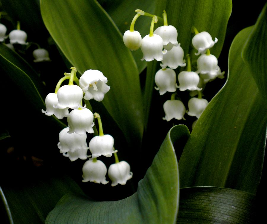 Lily Of The Valley clipart convallaria majalis Of 72 Group Flower valley