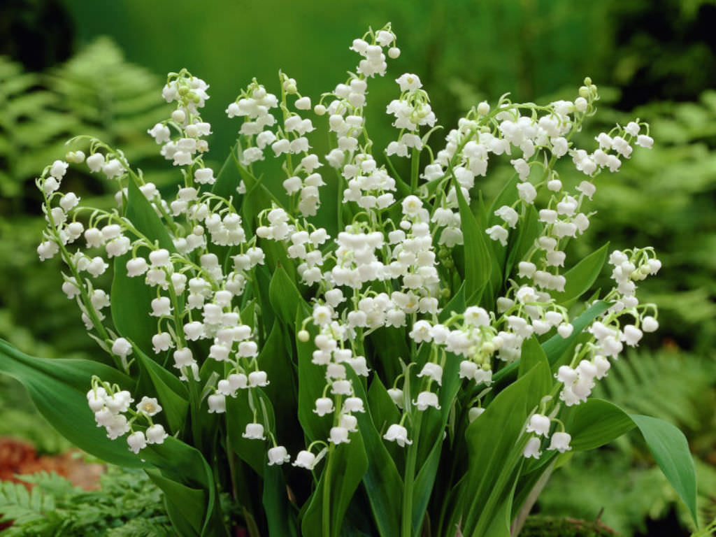 Lily Of The Valley clipart meaning Meanings the Valley Legends Facts