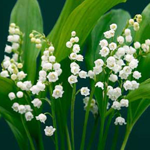 Lily Of The Valley clipart meaning Image information Lily Of The