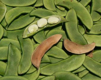 Lima Beans clipart runner bean (Baby bean Etsy Bean Earliest