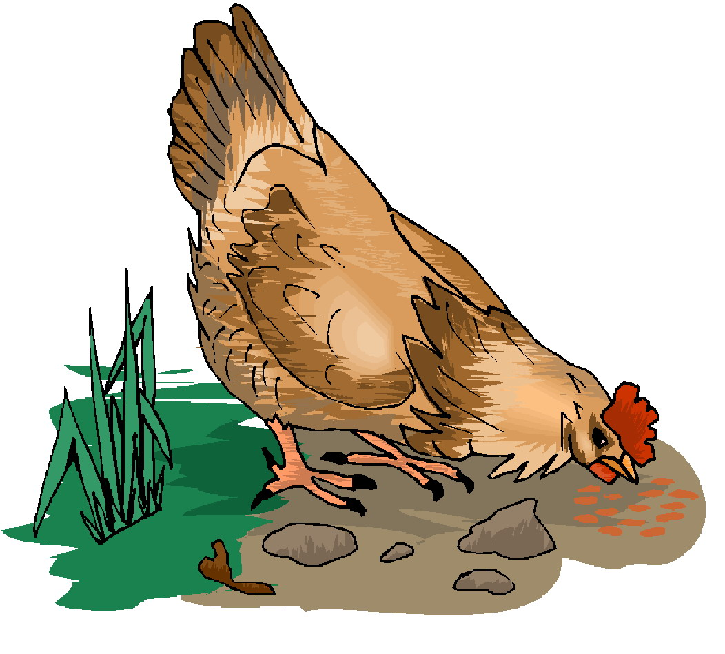 Grain clipart chicken eats Clip clipart image Chickens Chickens