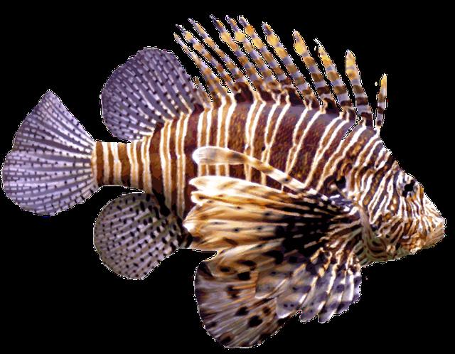 Lionfish clipart Fish Dixie Clip Of Saltwater