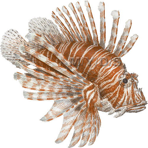 Lionfish clipart Graphics Red clip art Red
