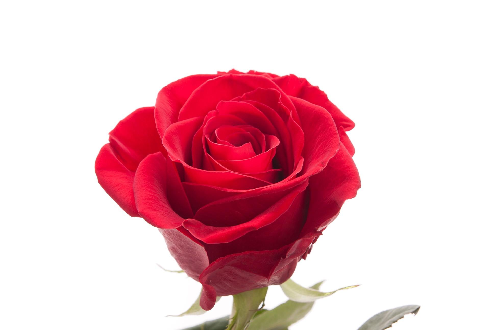 Red Rose clipart flower stalk #2
