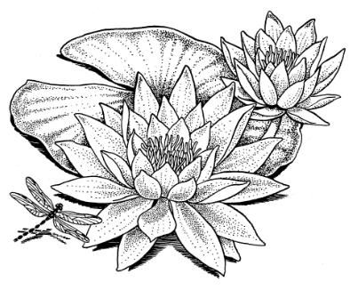 Drawn pond lily pond Lily images Water Water Drawing