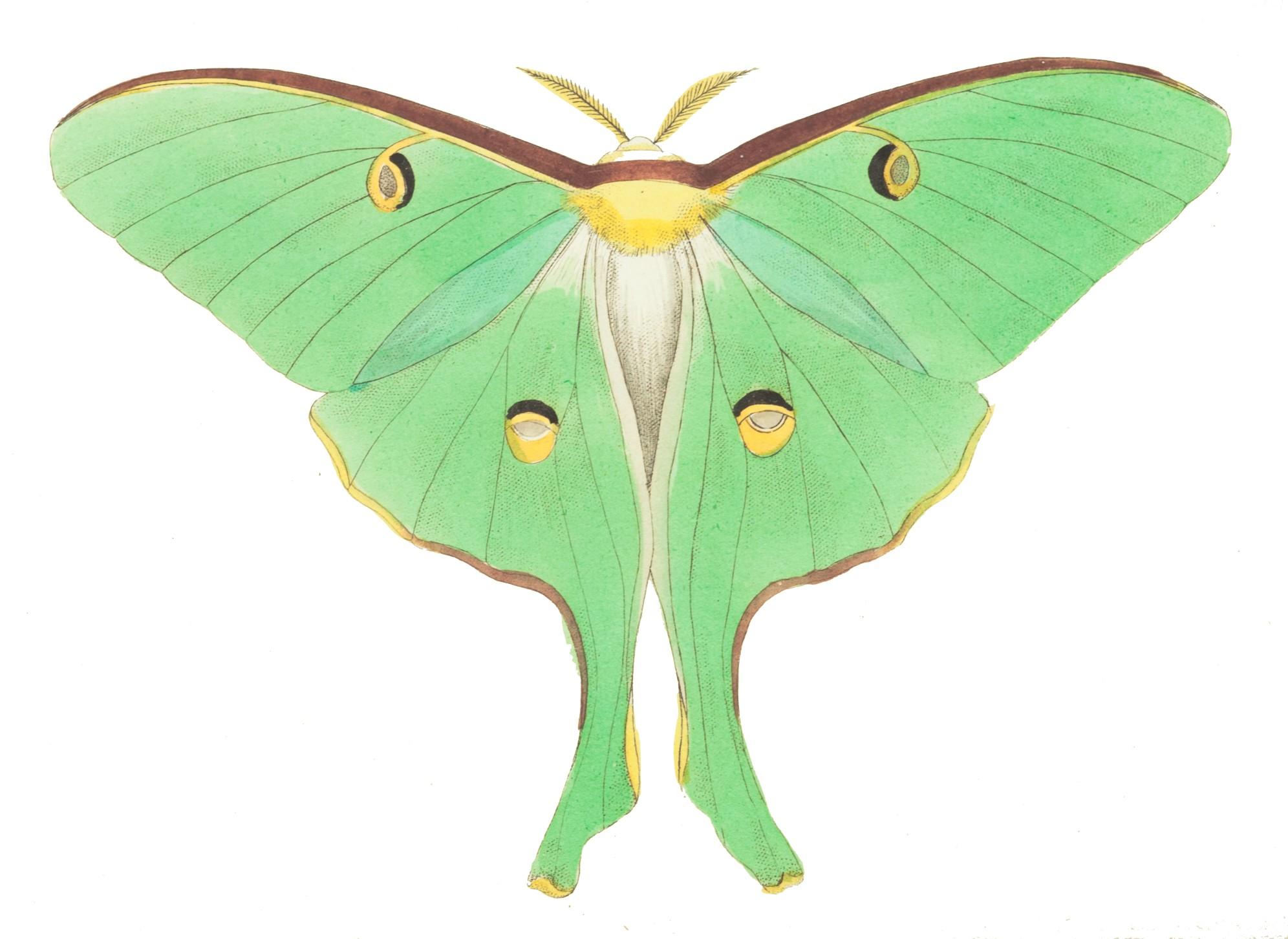 Luna Moth clipart Luna Resolution Clipart 1992x1452 Moth
