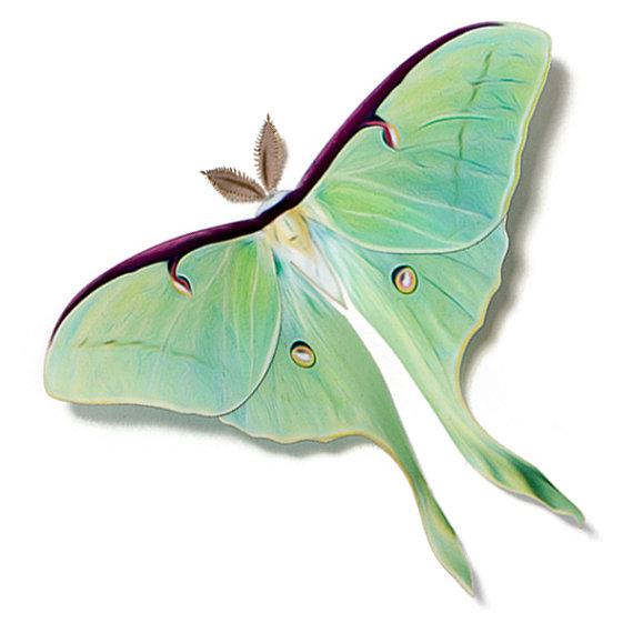 Luna Moth clipart 4 4 Luna Decoration Female