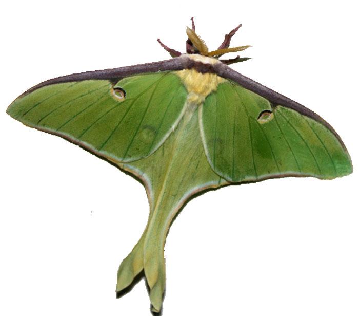Luna Moth clipart Luna) Moth heart (Actis Giving