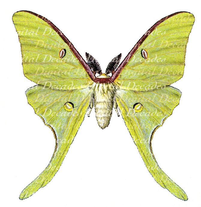 Luna Moth clipart Vintage Insect Moth Digital from