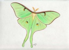 Luna Moth clipart Moth Luna xycolsen moth Moth