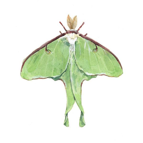 Luna Moth clipart Painting Moth Luna Watercolor Print