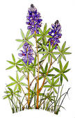Lupine clipart Lupine Illustrations Free Lupine GoGraph
