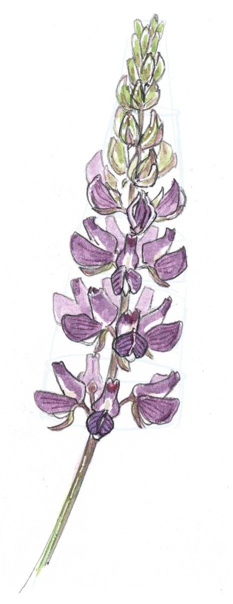 Lupine clipart Sbs 86 images Lupine lupin