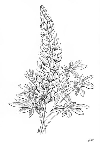 Lupine clipart No images stem sketch at