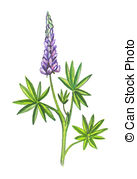 Lupine clipart Or photography 3 Lupine Illustration