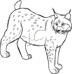 Lynx clipart  White an Royalty A