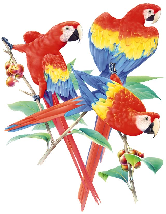 Scarlet Macaw clipart drawing #7