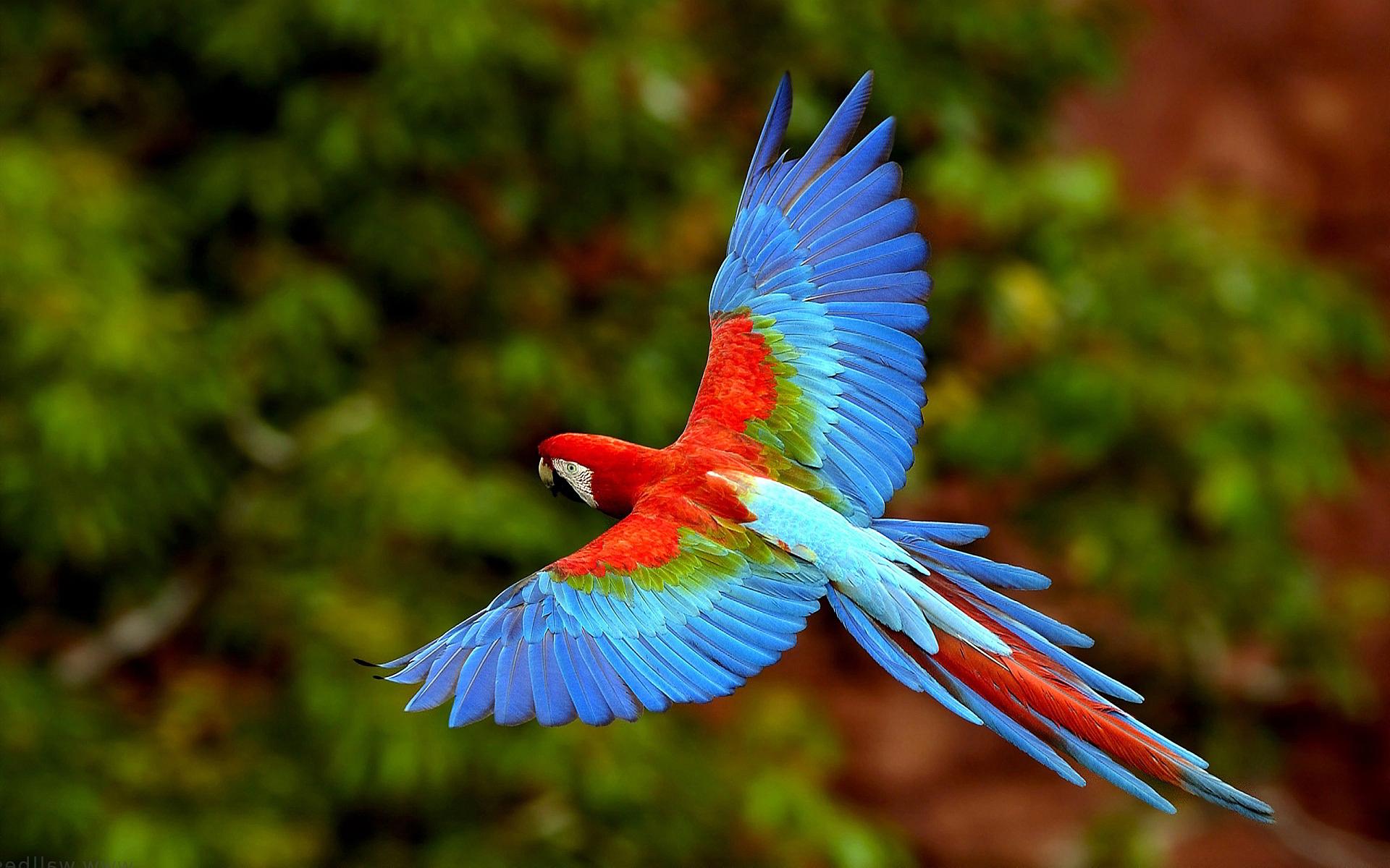 Scarlet Macaw clipart rainforest bird #10