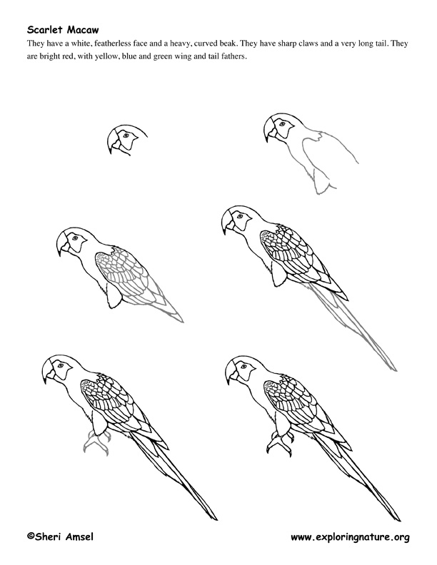 Scarlet Macaw clipart drawing #4