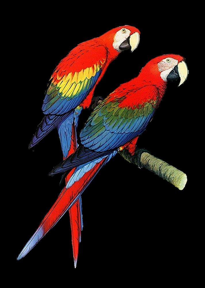 Brds clipart parrot Bird Images Pair Art Parrot