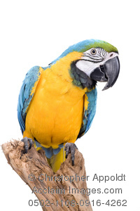 Blue-and-yellow Macaw clipart white background #10
