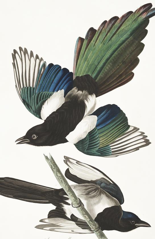 Magpie clipart audubon #14