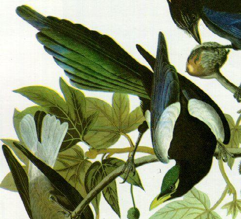 Magpie clipart audubon #15