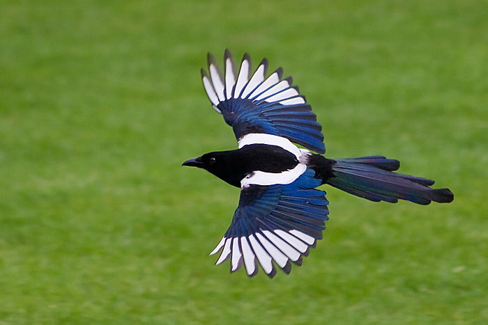 Magpie clipart Flying photo#15 Flying Magpie Magpie