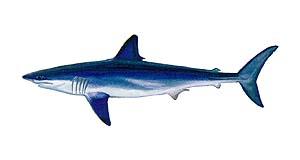 Mako Shark clipart Fishing Vetcraft Sport Mako oxyrinchus