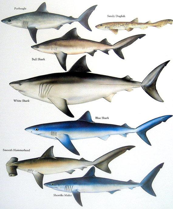 Bull Shark clipart sea animal Shortfin Shark Name: Bonito Common
