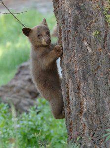 Bear Cub clipart mammal Want bears Cub I guessed