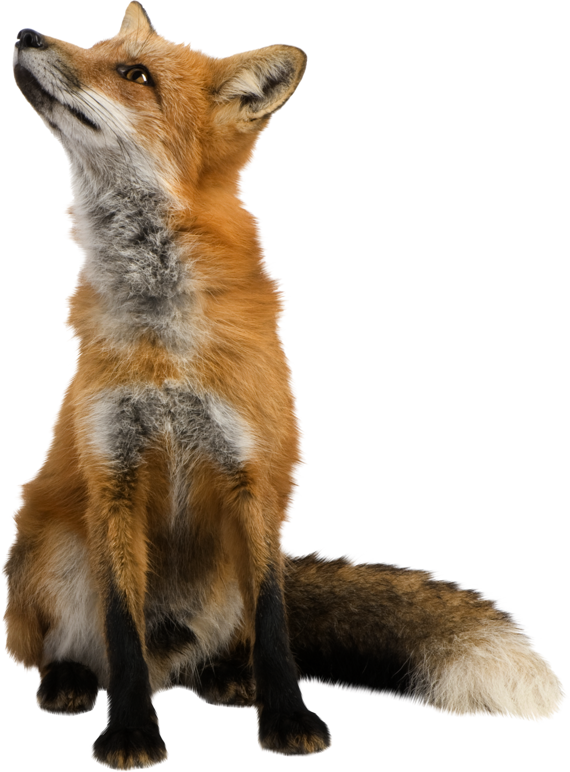 Red Fox clipart guides #1