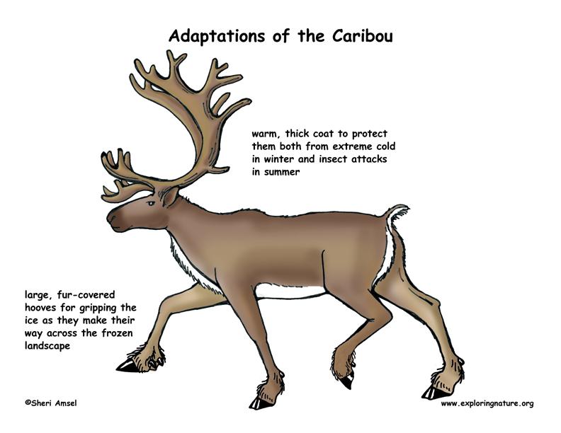 Arctic clipart adaptation Animals adaptations Khafre jpg tundra