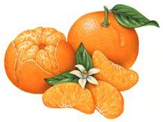 Mandarin clipart A peeled One orange three
