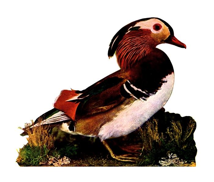 Mandarin Duck clipart Duck a mandarin Free