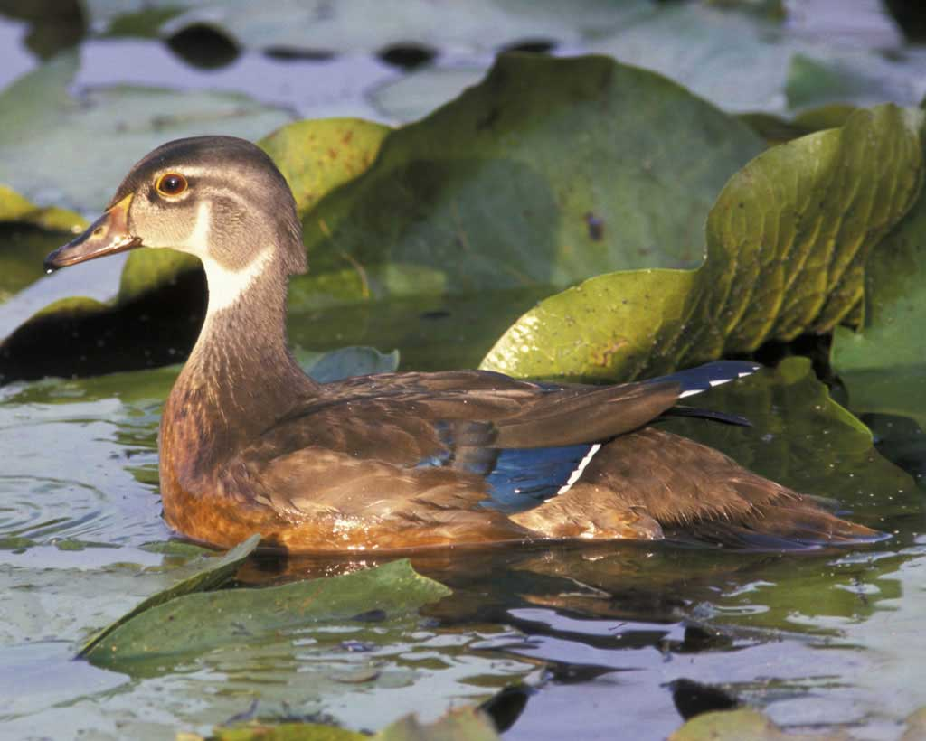 Wood Duck clipart woodland Male adult adult Audubon ·