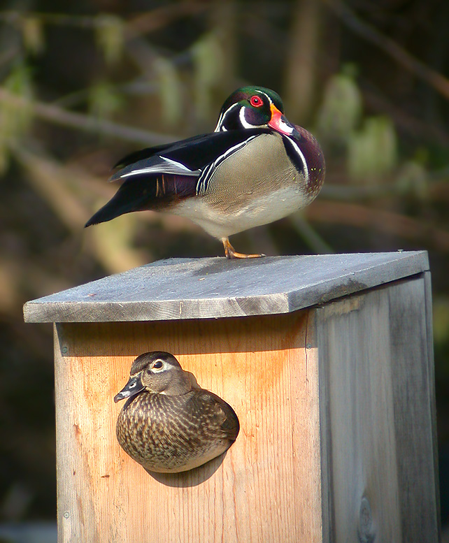 Wood Duck clipart woody Photo#13 Wood box Mount duck