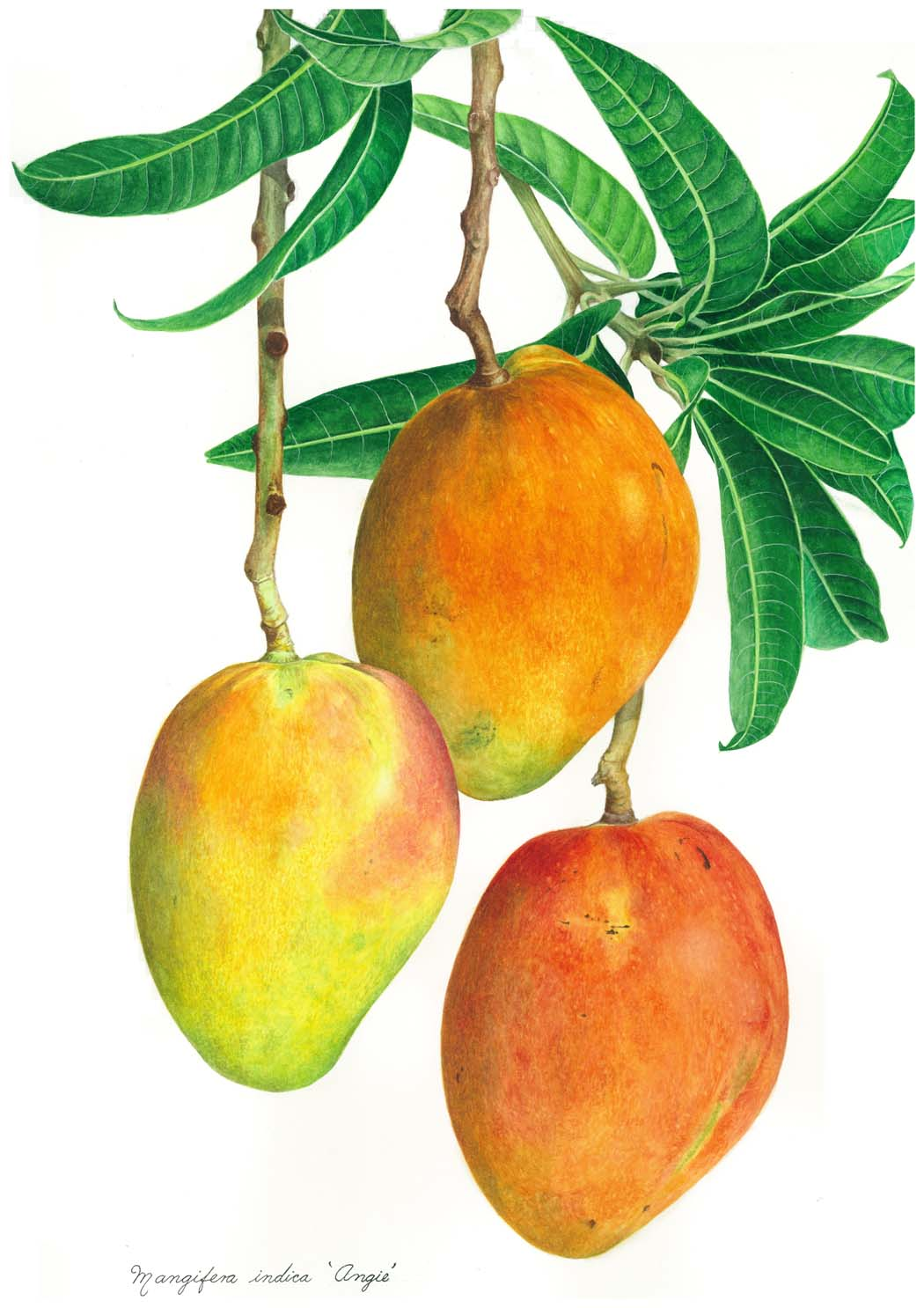 Mango clipart basket mango Pinterest Tropical Fairchild Garden Fairchild