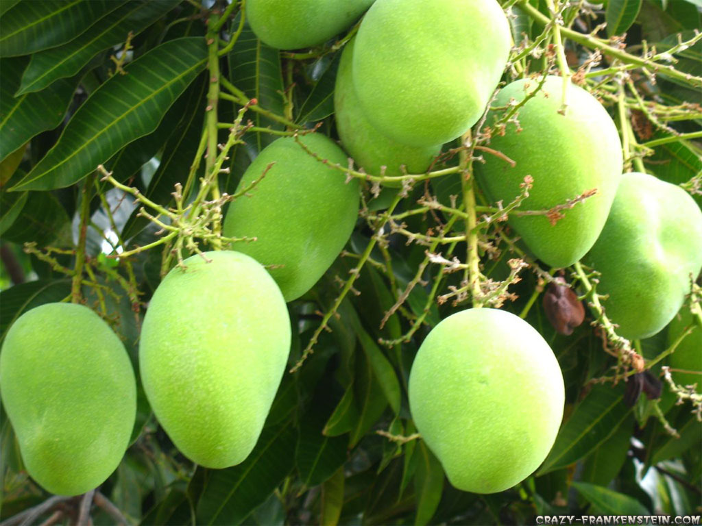 Mango clipart wallpaper Green Frankenstein wallpapers tree Fruit