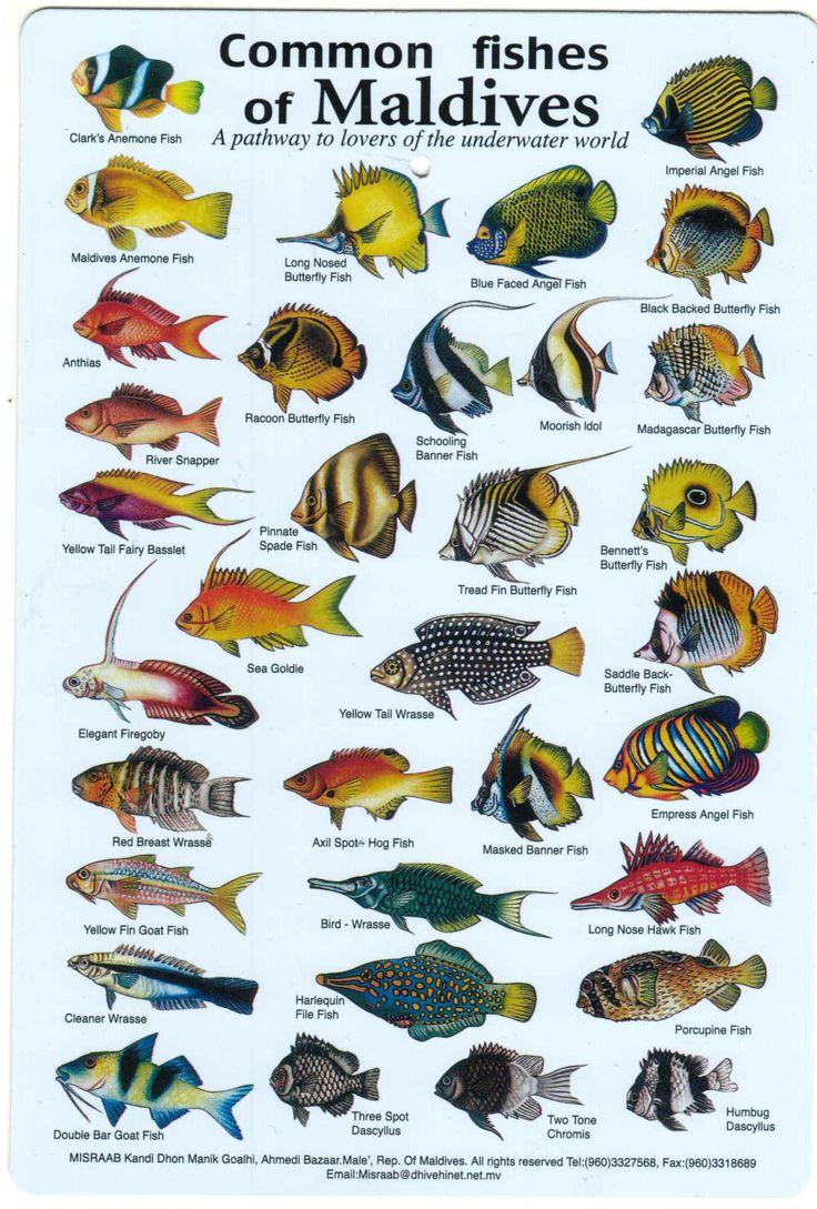 Angelfish clipart ikan Sided Maldives printed 76 on