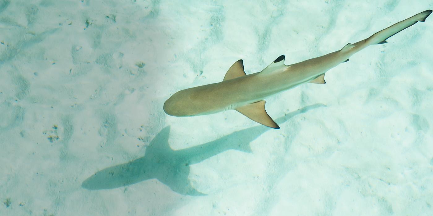Marine Life clipart baby shark Sharks  Sharkopedia Baby