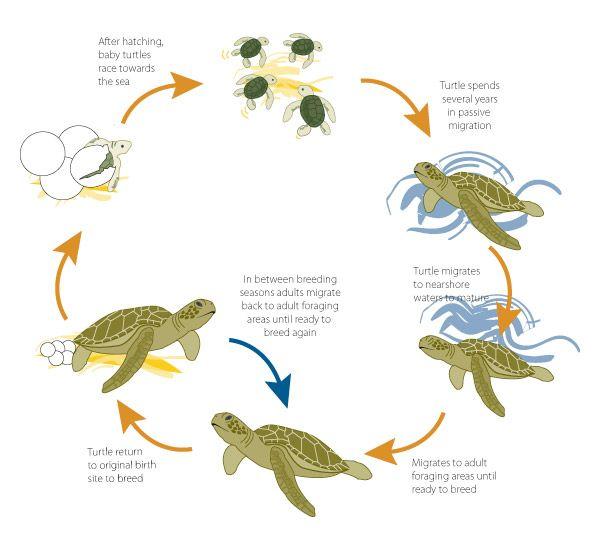 Marine Life clipart green turtle  Turtles Pinterest Sea on