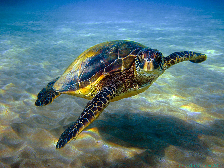 Marine Life clipart green turtle Hawaiian Wintner Sea Photo: Best
