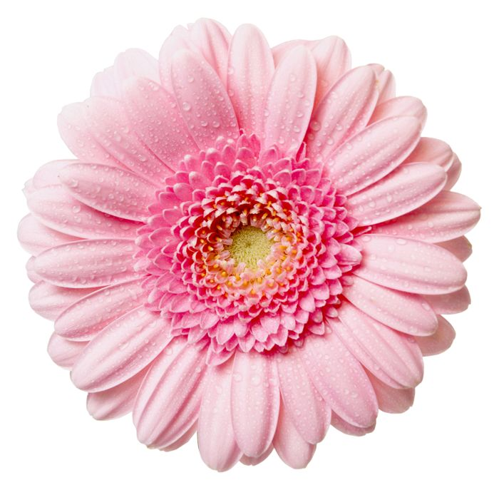 Pink Flower clipart real Art: High on graphics flowers