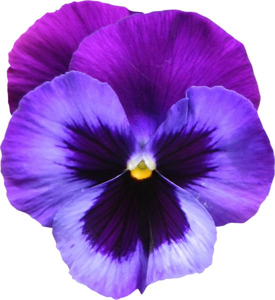 Pansy clipart single #6
