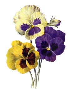 Pansy clipart vintage #2