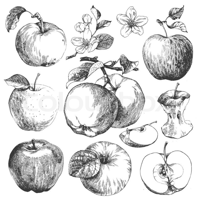 Fruits & Vegetables clipart retro Apple  Vintage #1 Branches: